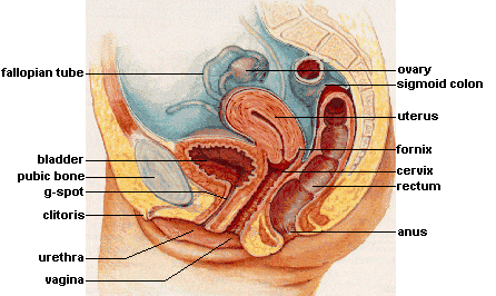 Internal Reproductive Anatomy